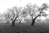 (chris valls) Tags: amandier almondtrees almendros