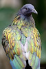 Nicobar Pigeon (dpsager) Tags: bird chicago dpsagerphotography lincolnparkzoo nicobarpigeon pigeon zoo