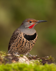 Northern Red-shafted Flicker (Martin Dollenkamp) Tags: vancouverisland woodpecker britishcolumbia northernredshaftedflicker flicker colaptesauratus nature birds