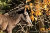 Wild Horse Filly (pamfromcalgary) Tags: 2017 wildhorses pamhawkes alberta equines autumn nordegg