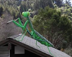 Praying mantis (lenswrangler) Tags: lenswrangler digikam bug insect prayingmantis sculpture berkeley university california cal botanical garden