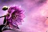 Helleborus Hybride (udo w-a-n-n-i-n-g-e-r) Tags: blumen blumenwanninger bokeh bokehlicious flora manualfocus pflanzen vintagelens beautiful beyondbokeh blur bokehgraph depthoffield detail dof dreamy extremebokeh flower flowers garden greatphotographers macro macrotube macros manual manualexposure manualfocusing manuallens manualondigital mth nature ngc petals preset primelensprime silkybokeh smooth smoothbokeh udowanninger vintage lens focus spring