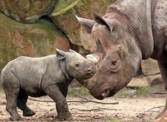 black rhino Blijdorp BB2A2577 (j.a.kok) Tags: rhino rhinoceros zwarteneushoorn blackrhinoceros blackrhino puntlipneushoorn neushoorn africa afrika animal herbivore mammal zoogdier dier blijdorp naima