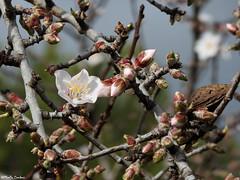 Almond blossom (Geminiature Nature+Landscape Photography Mallorca) Tags: blossom bloesem knoppen amandelbloesem amandelbloem flowers flowering almondtrees almondblossom almondflowers flowerbuds mallorca amandelbomen almendro