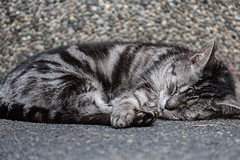 Twin Peaks Cat (Norse_Ninja) Tags: japan2017 kyoto journeyjd17 danielstaud gh5 panasonic cat catsofkyoto cats sleep twin peaks