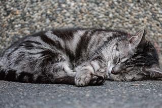 Twin Peaks Cat