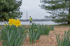 Early bloomers (Erinn Shirley) Tags: erinnshirley arlington virginia mountvernontrail daffodil flower nature people runner washingtonmonument recreation outdoors cloudyday
