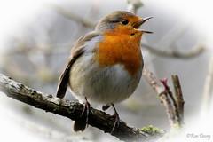 Choir Boy. (ronalddavey80) Tags: singing robin wildlife canon eos70d tamron 70300mm