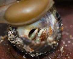 Macro Monday's - Less than an inch (sdonaldson84) Tags: macromondays lessthananinch marine macro sigma canon uk crab biology animal nature wildlife hermit coast rockpool sand claw shell ngc