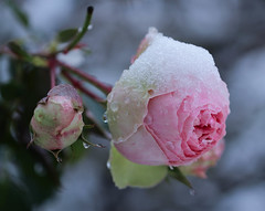 Snow Rose (LuckyMeyer) Tags: eden rose makro snow flower fleur plant rosa pink white garden