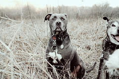 I wonder. (Anna Peterson) Tags: pitbull dogs prairie florida pentax pentaxk3 pentaxfa43f19ltd
