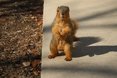 Squirrels On a Warm Late Winter's Day in Ann Arbor at the University of Michigan (February 28th, 2018) (cseeman) Tags: gobluesquirrels squirrels annarbor michigan animal campus universityofmichigan umsquirrels02282018 winter eating peanut februaryumsquirrel sunny bright latewinter