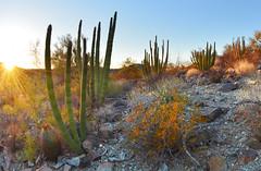 Organ Pipes (BongoInc) Tags: cactus arizona sonorandesert organpipecactus