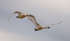 Tundra Swans. (tresed47) Tags: 2017 201701jan 20170126semarylandbirds birds blackwaternwr canon7d content folder january maryland peterscamera petersphotos places season swan takenby tundraswan us winter ngc