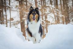 01/12 Nora in Austria, 2018 (shila009) Tags: nora dog perro 0112 roughcollie snow austria portrait tricolor beautifuldog winter white invierno blanco frio cold