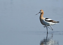 American Avocet...#9 (Guy Lichter Photography - 3.7M views Thank you) Tags: americanavocet canon 5d3 canada manitoba oakhammockmarsh wildlife animals birds avocet