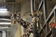 ☆ なかよし (yuki_alm_misa) Tags: 動物園 上野動物園 zoo uenozoo uenozoologicalgardens 上野 恩賜上野動物園 ueno キリン giraffe animal