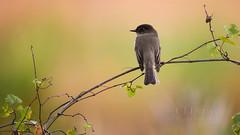 Eastern Phoebe (ChristinaLEvans) Tags: easternphoebe flycatcher eaph sayornisphoebe passerine birds florida kissimmeeprairiepreserve kpp hammock grapevine horizontal color okeechobee usa