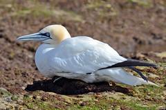 Ganso-patola (ou Alcatraz) - Northern Gannet - Morus bassanus (Yako36) Tags: portugal peniche ave bird birdwatching nature natureza nikon200500 nikond7000