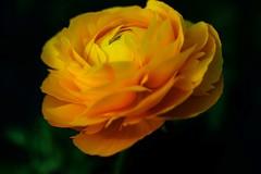 No es una rosa... (ameliapardo) Tags: flores macrodeflores floresyplantas color fujixt1 sevilla andalucia españa