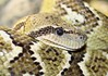 Madagascar Tree Boa (auntiepauline) Tags: madagascartreeboa boa snake philadelphiazoo constrictor