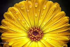 Ringelblume / marigold (peterkaroblis) Tags: garten garden blume flower makro pflanze gelb yellow ringelblume marigold calendulaofficinalis