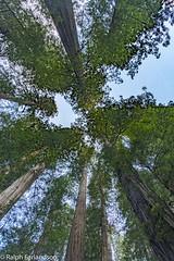 Where Giants Meet (Ralph Earlandson) Tags: jedediahsmithredwoodsstatepark california tree redwoods