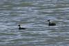 Slavonian grebes record (roger_forster) Tags: podicepsauritus slavoniangrebe winter plumage lymington keyhaven hampshire hiwwt wild bird solent sea