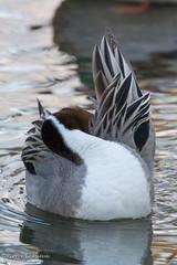 Timide? /Shy? (Pierre Lemieux) Tags: villedequébec québec canada ca canardpilet northernpintail duck domainemaizerets eau rivière hiver plumage plumes