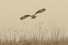 Short-eared Owl (smithnorman65) Tags: shorty owl shorteared flight