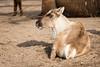 2018-02-17-12h51m49.BL7R9848 (A.J. Haverkamp) Tags: canonef100400mmf4556lisiiusmlens amsterdam noordholland netherlands zoo dierentuin httpwwwartisnl artis thenetherlands rendier rangifertarandus reindeer nl