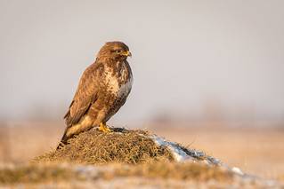 Common buzzard / Buizerd
