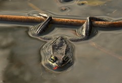 Wood Frog (Bob Cammarata) Tags: