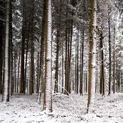 Winterwald (zeh.hah.es.) Tags: ktzh baum bäume tree trees wald forest winter schweiz switzerland schnee snow weiss white grün green braun brown vertikal vertical