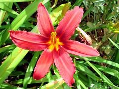 Hémérocalle (jean-daniel david) Tags: fleur closeup nature hémérocalle verdure rouge jaune