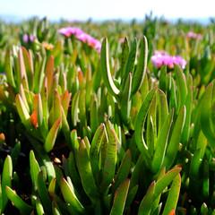 succulents (fitzgerlad) Tags: california fuji xt1 vacation2018 succulent