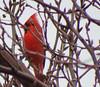 Sitting in a Tree (kendoman26) Tags: bird redcardinal fuji fujifinepix fujifinepixs1 bridgecamera