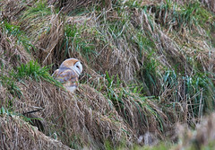 DSC_0026 (ballpythonspider) Tags: barnowl owl
