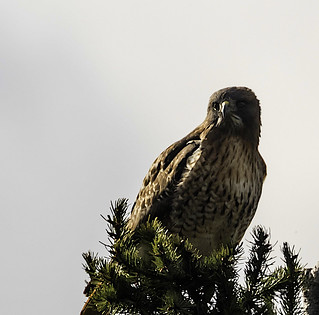 red tailed hawk 3