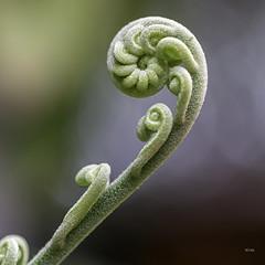 H's Garden: Awakening (_aires_) Tags: aires iris winter winterbeauty fern fiddlehead beginnings green bokeh canoneos5dmarkiii canonef100mmf28lmacroisusm limaperu