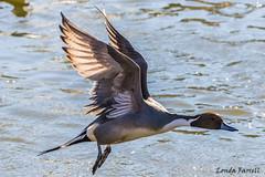Northern Pintail (londa.farrell) Tags: dartmouth novascotia canada duck waterfowl northernpintail pintail wildlife water flight nature outdoor bird