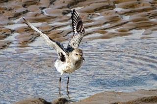 Grey Plover showing those