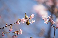 _DSC0832.jpg (plasticskin2001) Tags: mejiro sakura flower bird
