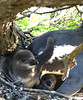 African penguin chicks (rjmiller1807) Tags: chicks penguins babypenguins penguinchicks 2017 africanpenguin jackasspenguin blackfootedpenguin penguin bird avian aves iphone iphonese iphonography nest cute science sweet animals babyanimals robbenisland penguincolony robben island