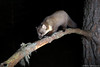 Pine marten (Mike Mckenzie8) Tags: martes nocturnal wild wildlife mammal scotland pine tree highland climbing uk camtraptions camera trap