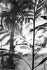 The shape of leaves (Pexpix) Tags: kodakd76 leaves plant blackandwhite tree contrejour silhouette trees 攝影發燒友 digitizedfilmnegative nikonf3p film ilfordhp5 press professional