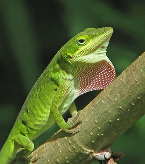 Green anole on display