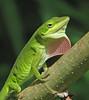 Green anole on display (Vicki's Nature) Tags: greenanole male lizard reptile small green pink strawberry displaying branch biello georgia vickisnature canon s5 6089 wild
