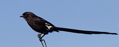 Magpie Shrike - Corvinelle noir et blanc (happybirds.ch) Tags: afriquedusud africa south kruger national park knp wild sauvage nature happybirds bird oiseau pano panorama shrike magpie corvinelle noir blanc black white