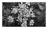 Black and White (DM Fotografie) Tags: blumenfotografie blumen schwarz weis black white fotografie dmfotografie flower floral 2018 rahmen